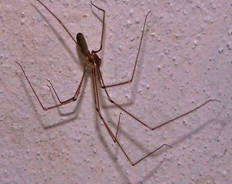 Long Bodied Cellar Spiders