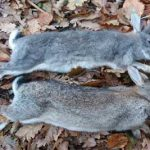 Tuition classes in rabbit shooting by Olde English Pest Control from Kent and the South East