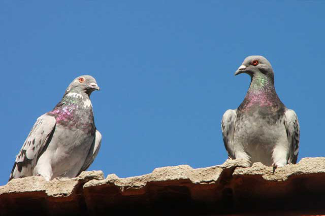Pigeon Control in Kent by Olde English Pest Control